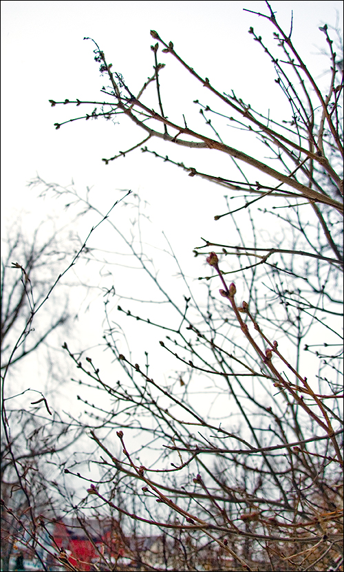 2008_01_28_budding_shrub.jpg